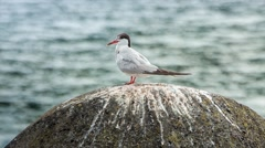 Resting seagull on a stone near the shore, Magic Lantern RAW video Stock Footage