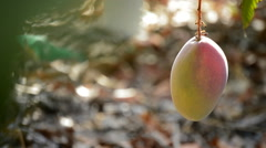 Mango fruit hanging at branch - stock footage