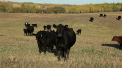 Black and Red Angus Cows Stock Footage