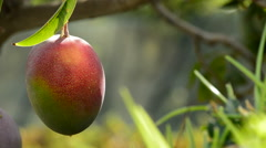 Mango fruit ripe hanging at branch Stock Footage