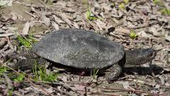 European Pond Turtle fast walk, Emys orbicularis Stock Footage