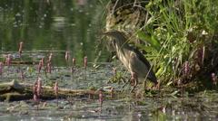 Bird Heron Little Bittern hunting fish in the lake Stock Footage