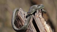 Imposing Grass snake flicking his tongue, Natrix natrix Stock Footage