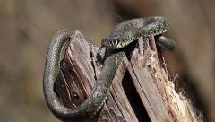 Ferocious Grass snake, Natrix natrix - stock footage