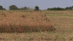 Combine harvest field and dry ripe peas plants. Stork birds Stock Footage