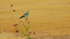 Rare gorgeous bird in nature Stock Footage