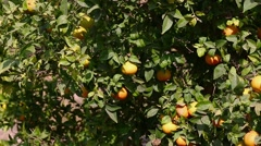 Some mandarins on tree Stock Footage