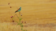 Beautiful bird in Southern Europe nature - stock footage