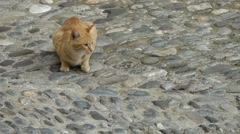 Europe Italy Liguria Airole village 022 peach colored cat on cobblestone street Stock Footage