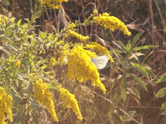 Stock Video Footage of flowers goldenrod, butterfly