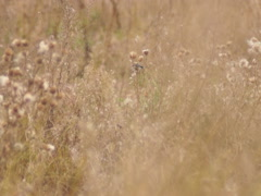 Nature, goldfinches on thistle Stock Footage
