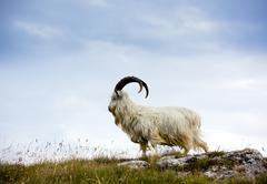 cashmere goat at wales - stock photo