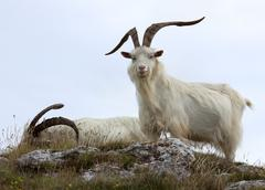 cashmere goats - stock photo