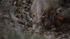 Goats eating branches in forest Stock Footage