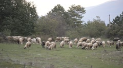 Pack of sheep feeding in autumn. Stock Footage