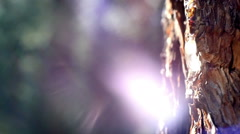 Tree sap on tree Stock Footage