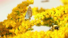 Butterfly and bumblebee on the Solidago virgaurea flowers Stock Footage