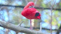 Scarlet ibis preens its feathers long beak Stock Footage
