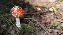 Amanita muscaria Stock Footage