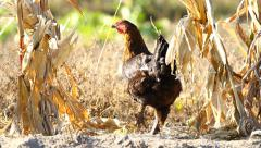 Chicken peck a corn in rural Stock Footage