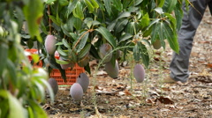 Mangoes hanging in harvest Stock Footage