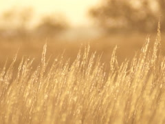 Sun, spikelets dry grass Stock Footage