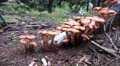 4k Wood and Tree Fungi panning at cutted tree trunk 4k or 4k+ Resolution