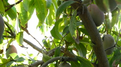 Panoramic of mangoes fruit hanging at tree Stock Footage