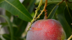 Ripe mango fruit hanging at branch Stock Footage
