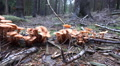 Wood and Tree Fungi closeup panning in forest at cutted tree trunk HD Footage