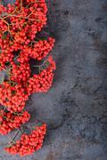 Bunch of red rowan berries Stock Photos