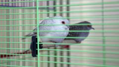 Diamond Turtledove birds in green cage Stock Footage