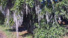 Spanish Moss displays southern charm by hanging off a tree in South Carolina (3  - stock footage