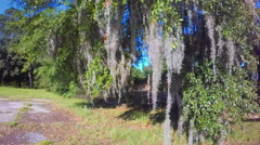 Spanish Moss displays southern charm by hanging off a tree in South Carolina (1 Stock Footage