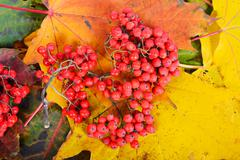 Red sorbus on the autumn maple leafs - stock photo