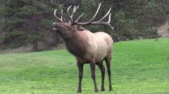 Bull  Elk Bugling in the Rut Stock Footage
