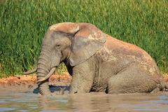 African elephant in mud Kuvituskuvat