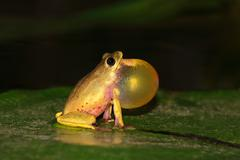 Reed frog calling Stock Photos