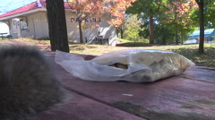 Squirrels having a picnic with peanuts on sunny fall day Stock Footage