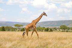 Large giraffe walks at the plains of Africa Stock Photos