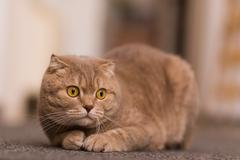 British cat  ready for hunting Stock Photos