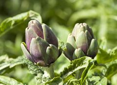 Artichoke buds Stock Photos