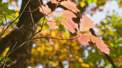 Small red oak with bright leaves, autumn time pan move Stock Footage