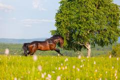 Bay horse goes on a green meadow Stock Photos