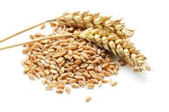 wheat ears and grain - stock photo
