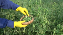 Farmer gardener with protective glove pick ripe green pea pod Stock Footage