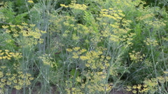 Culinary dill  in garden and wind background Stock Footage