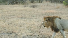 African Lion walks in early morning (1 of 3) Stock Footage