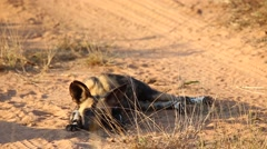 African wild dog pup rests by the road Stock Footage