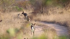 Pack of wild dogs on the move - stock footage